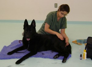 Canine Massage at Ann Arbor Animal Hospital