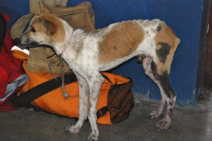 Emaciation and hot water scalds were a common sight. This dog was brought in by a young boy whose family was unable to care for and feed him. While the aim is community education and sustainable care, in this situation the dog was relinquished to our care.