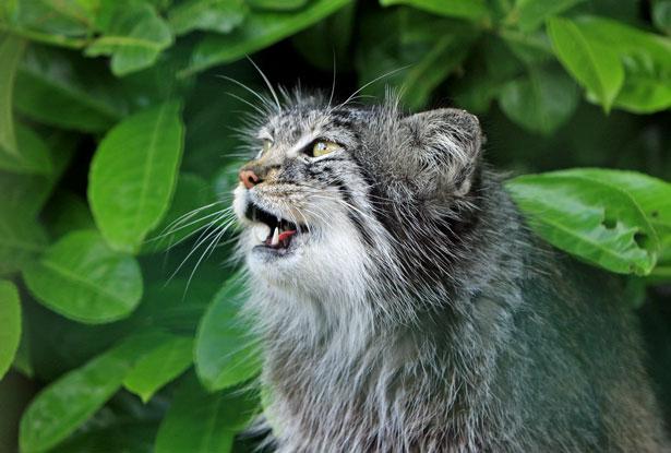 cat-mewing