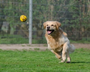 golden-retriever-750592_640