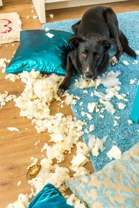 Guilty Dog with the Remains of a Cushion