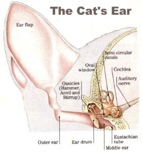 7e9178595e73d33bf4f8f41557455eed what's with that slit on your cat's ear, and more on feline anatomy