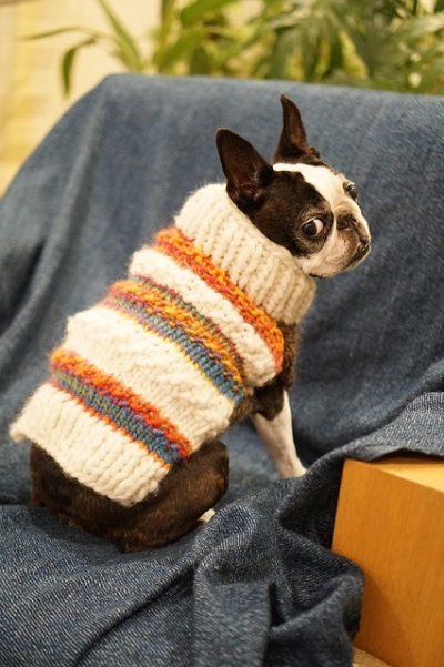 boston terrier in sweater
