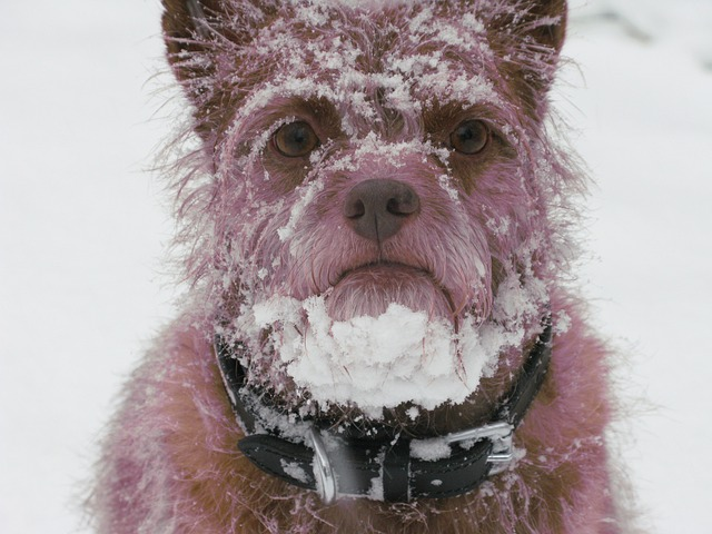 how cold is too cold dogs will show their discomfort
