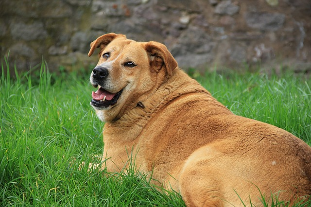 An overweight dog. Many pets can use some help to slim down.