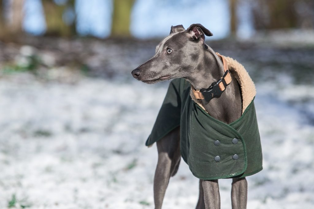 whippet wears coat outdoors in winter