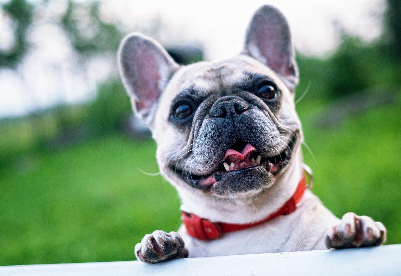 pet dental health month French bulldog
